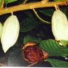 Cacao fruit tree #2