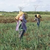 Corozal District Onion Farmers